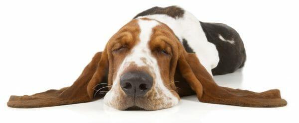basset hound - basset hound lifespan