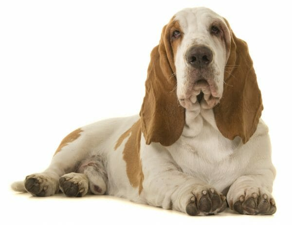 basset hound colors - lemon basset hound