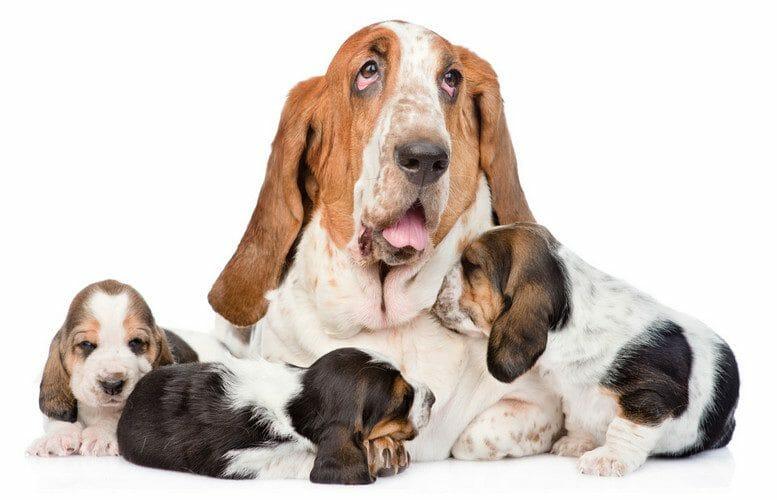 basset hound puppies - newborn basset hound puppies