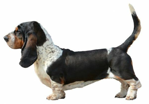 basset hound temperament - how long do basset hounds live