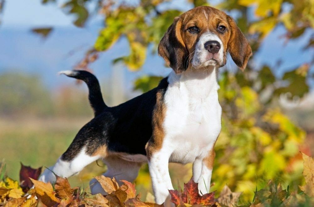 beagle - beagle dog
