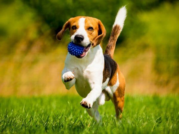 beagle dog - beagle dogs