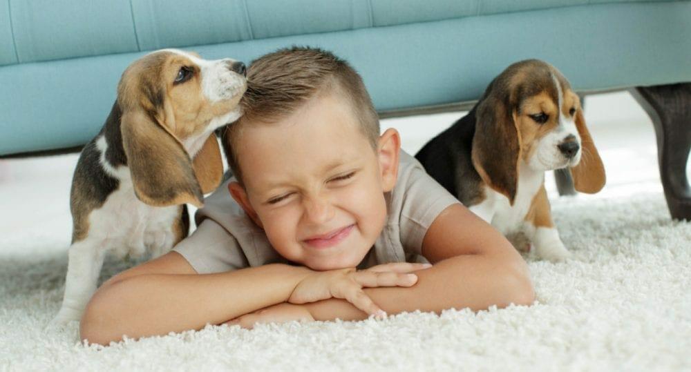 beagle puppies - beagle puppy