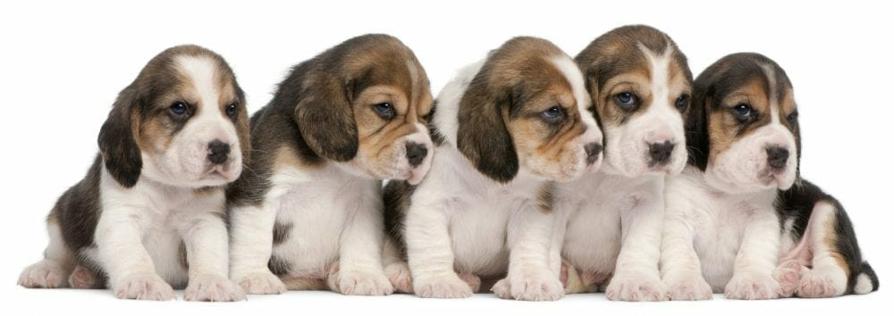 beagle puppy - beagle puppies
