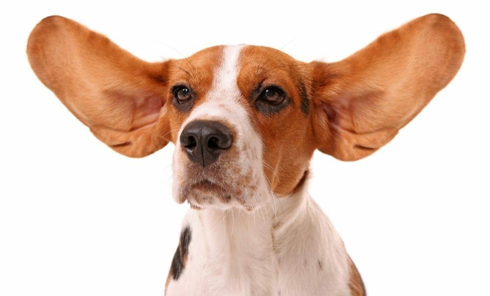 beagles - beagle rescue