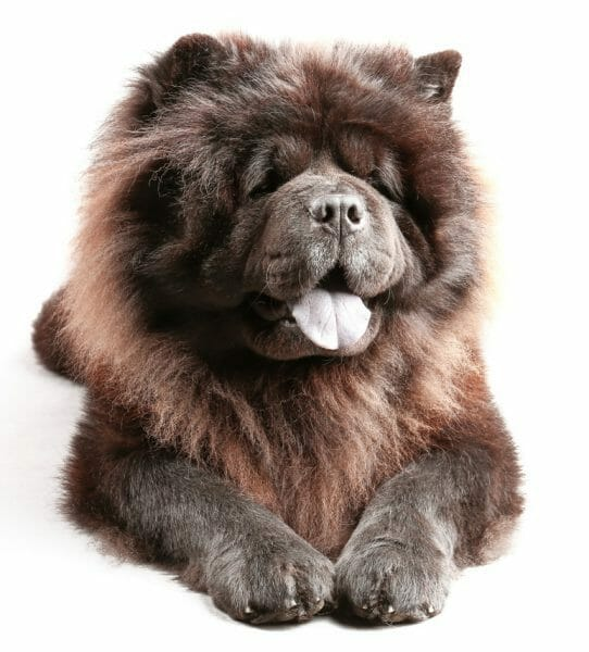black chow dog - chow chow dog breed