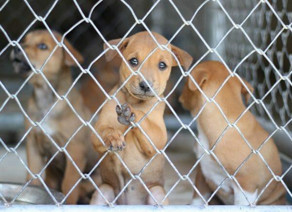 canine coronavirus treatment - canine coronavirus symptoms in dogs