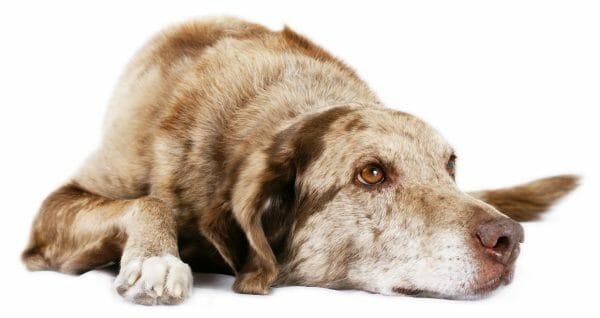 canine coronavirus vaccine - canine enteric coronavirus adult