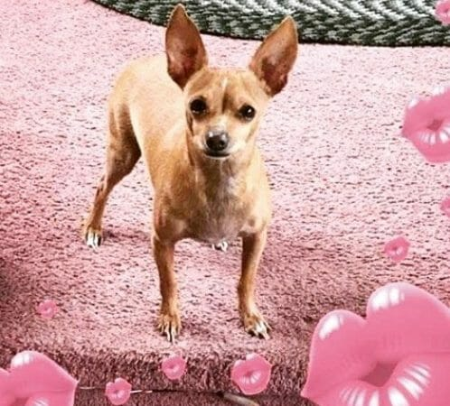 chihuahua cute dog photo