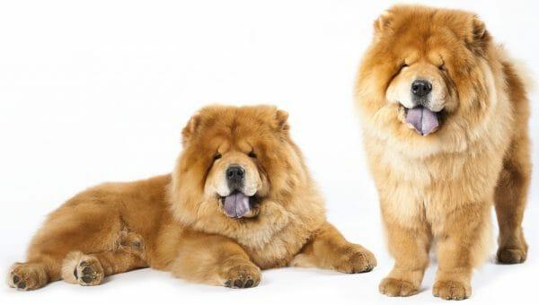 chow chow dog - chow dogs
