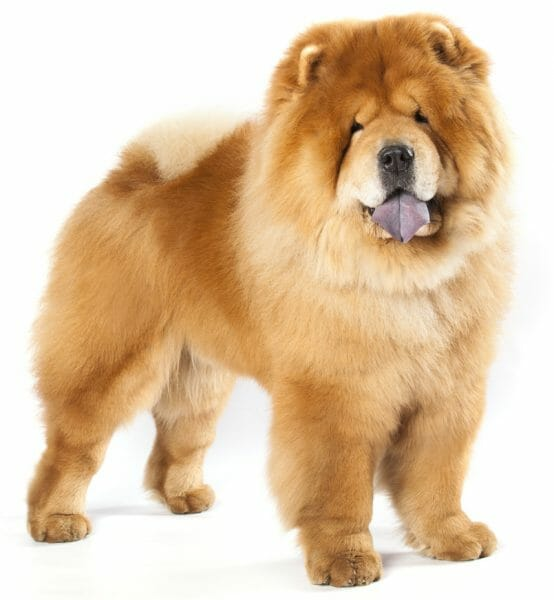 chow dog breed - chow chow dogs