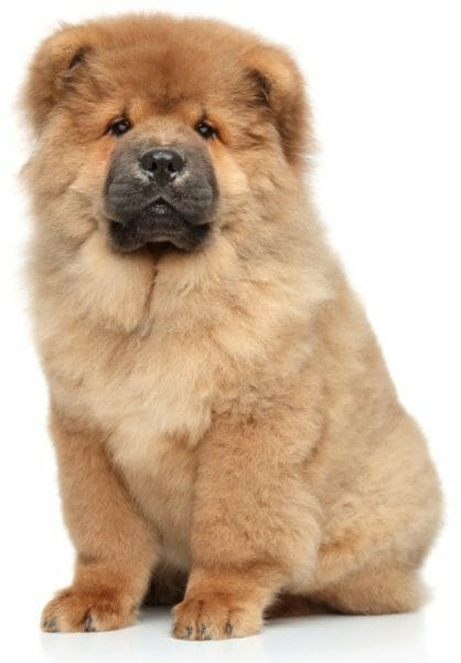 chow dog puppy - puppy chow dog