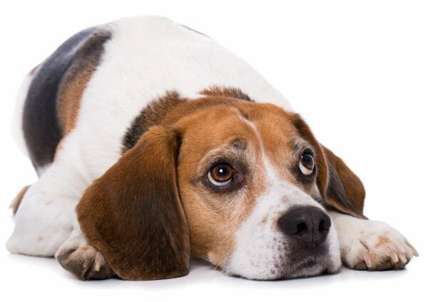 cushing syndrome in dogs - when to put a dog down with cushing's disease