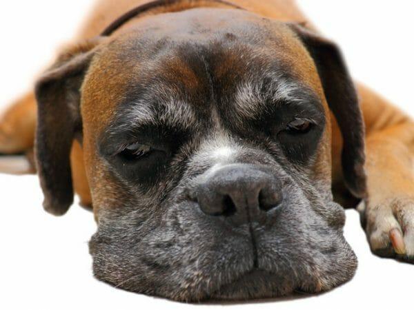 cushing's disease in dogs - cushing disease dog behavior