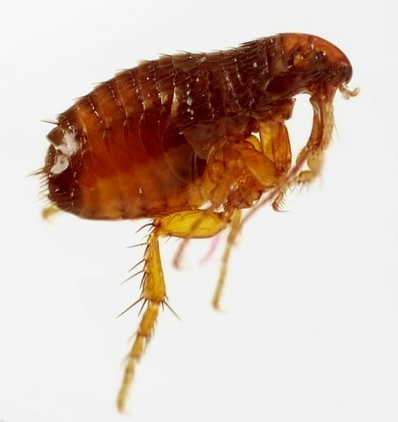 fleas on dogs - flea and tick for dogs