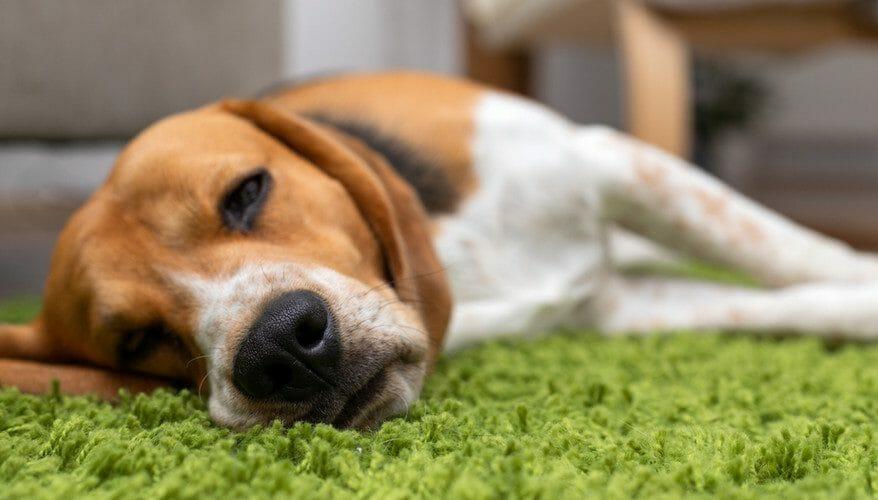 heartworm in dogs - heartworm symptoms in dogs