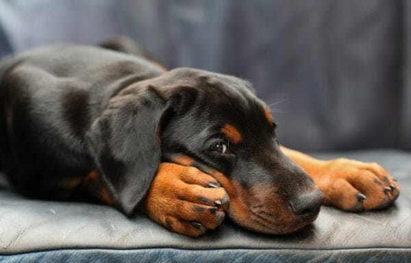 how do dogs get parvo - parvo symptoms in dogs - doberman