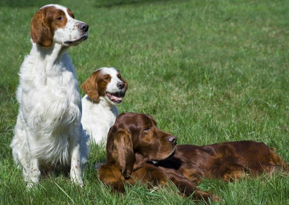 irish red and white setter - irish setter dogs