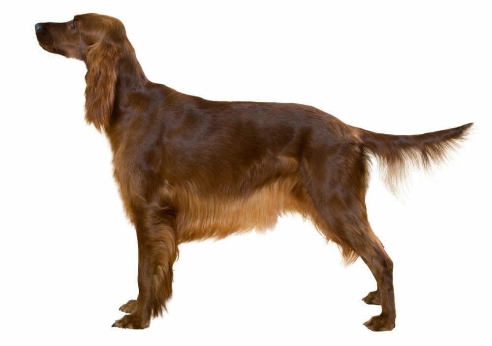 irish red setter - irish setter dog