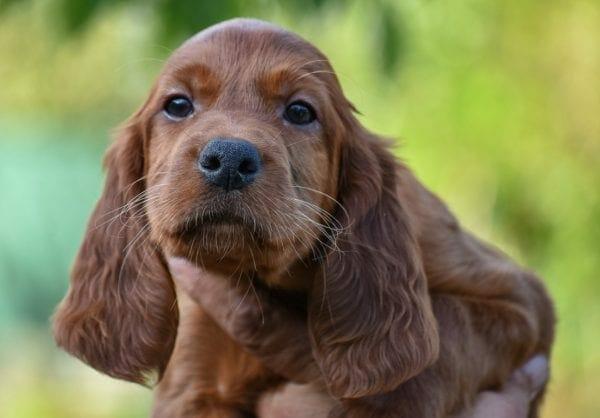 canine coronavirus - coronavirus canine