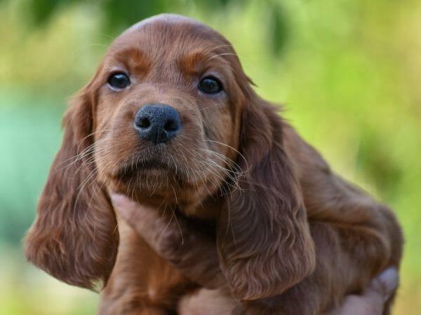 irish setter puppies - irish setter puppy