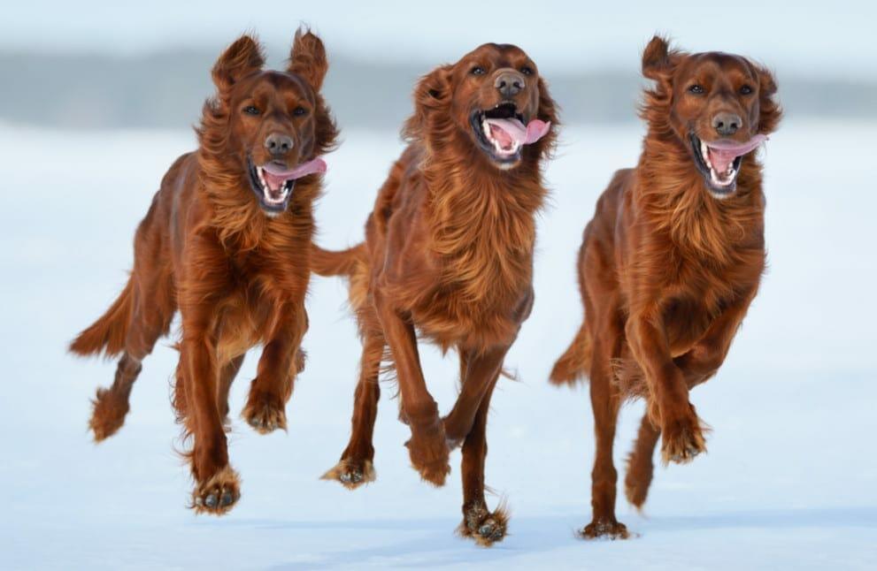 irish setters - irish setter dogs