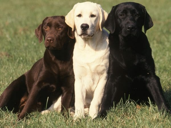 Chocolate, White and Black Labrador Retrievers.