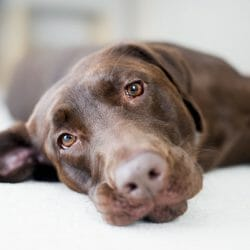 Labrador Retriever Health Conditions