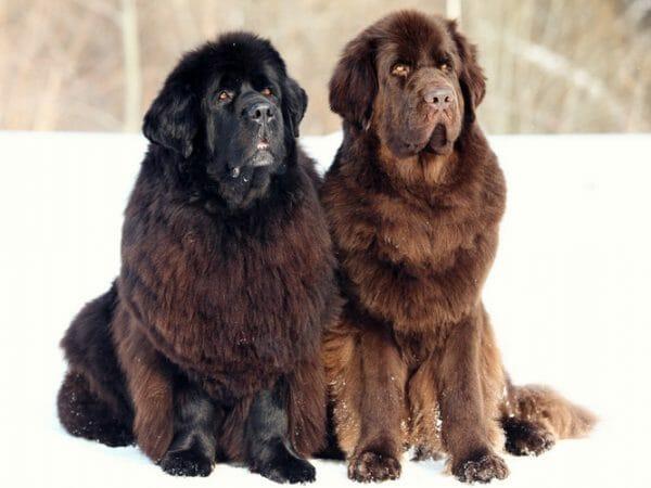 newfoundland dog - dog newfoundland