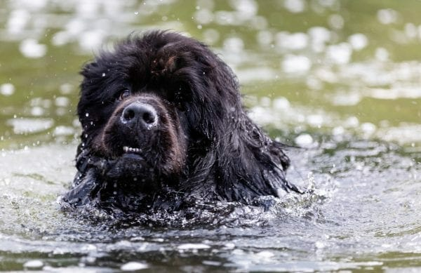 newfoundland dogs - newfoundland dog breed