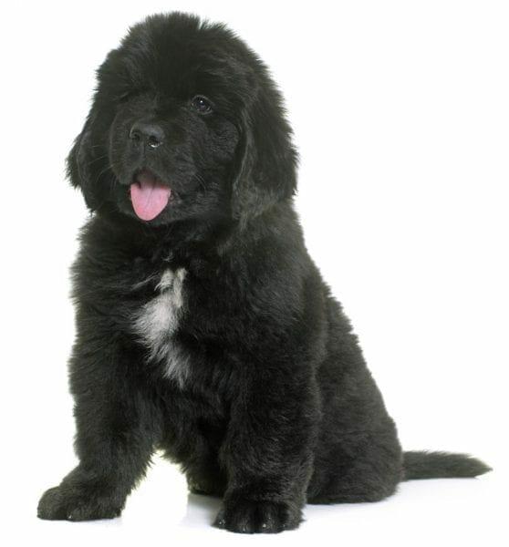 newfoundland puppies - newfoundland dog puppies