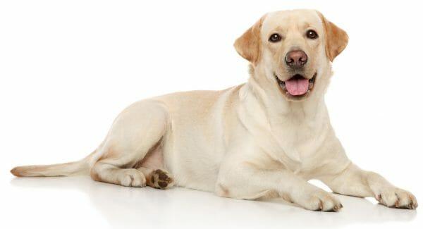 parvovirus in dogs - how does a dog get parvo - golden retriever