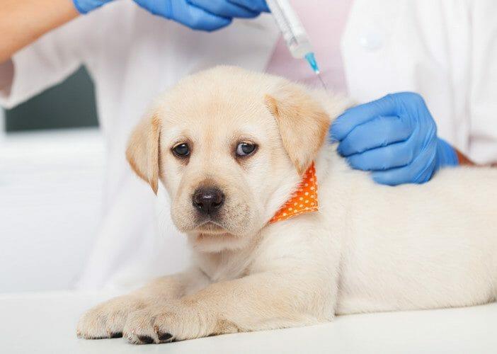 parvovirus - symptoms of parvo in dogs