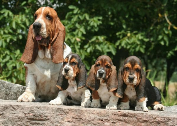 pictures of basset hounds - do basset hounds shed