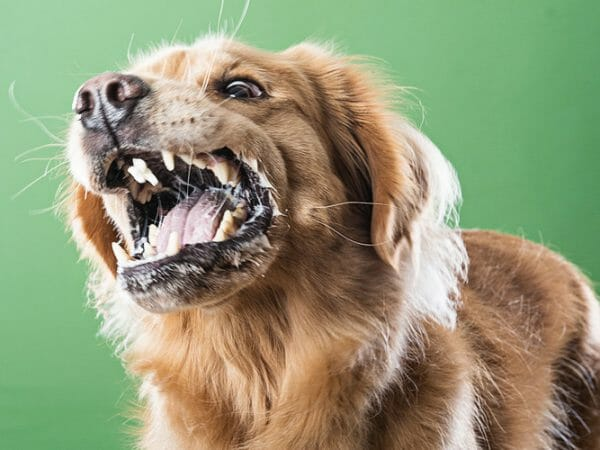 rabies symptoms in dogs - can a vaccinated dog get rabies