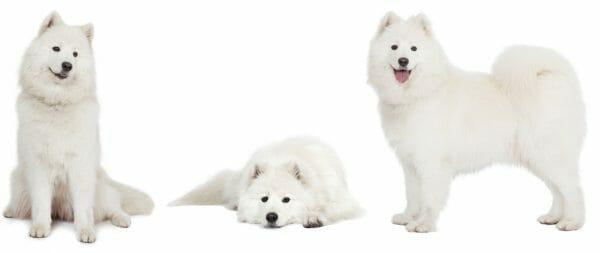 samoyed dog - samoyed size