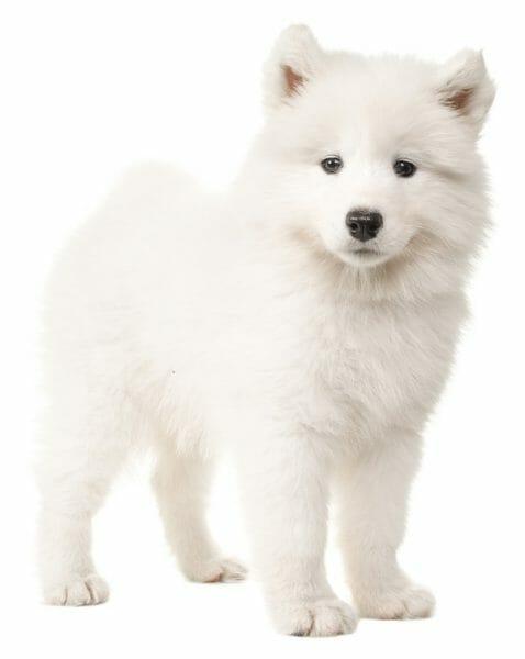 samoyed puppy - samoyed puppies