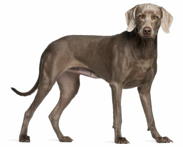 weimaraner colors - weimaraner dog breed