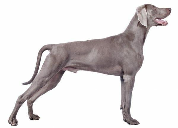 weimaraner dog - blue weimaraner