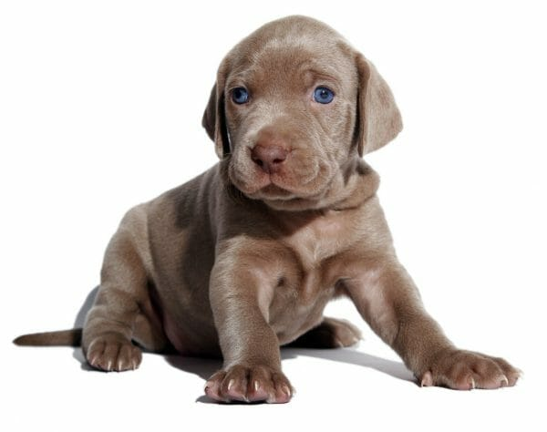 weimaraner puppy - weimaraner puppies