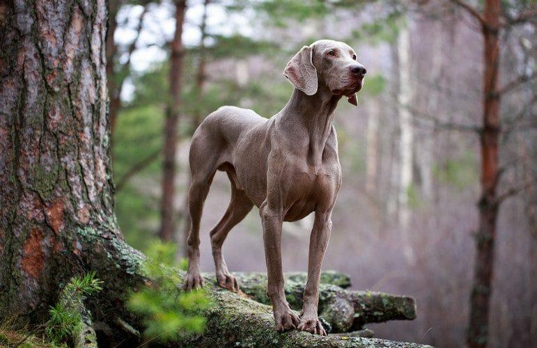 weimaraner - weimaraner dogs