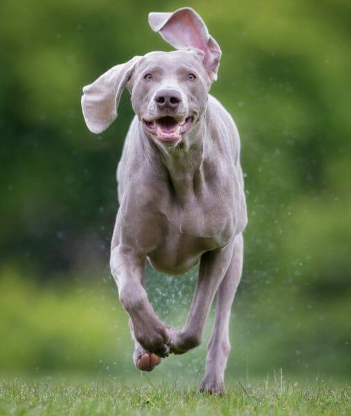 weimaraners - dog weimaraner
